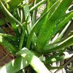 Aloe vera je široko uporabna rastlina